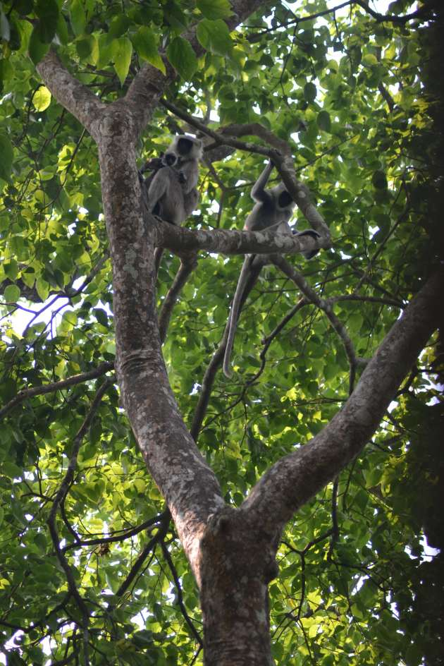 A gray langur female and youngster