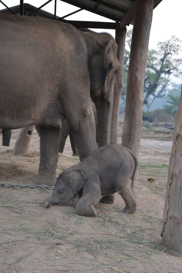 A baby elephant at the brreding centre, struggling with that pesky thing, gravity.