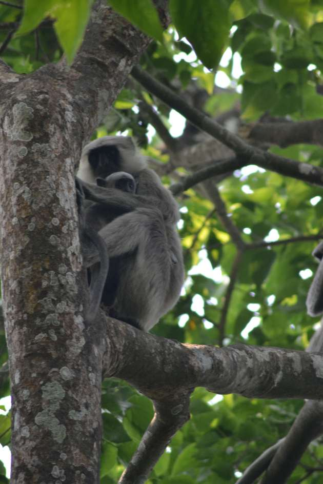 A close up of the mother monkey from Chitwas Pt 1.