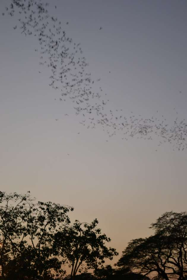 The bats heading westward